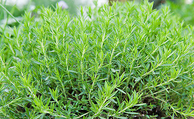 TARRAGON 2500 Seeds BULK Heirloom EASY CARE PLANT Premium Russian