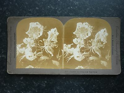 """Stereoview Nice Early Image By M.E.Wright """" Consider The Lillies How They Grow """""""