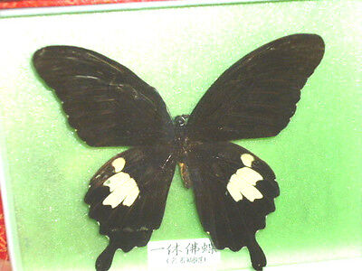 Vintage REAL Framed Black SWALLOWTAIL Butterfly Taxidermy: Glass Frame Oriental
