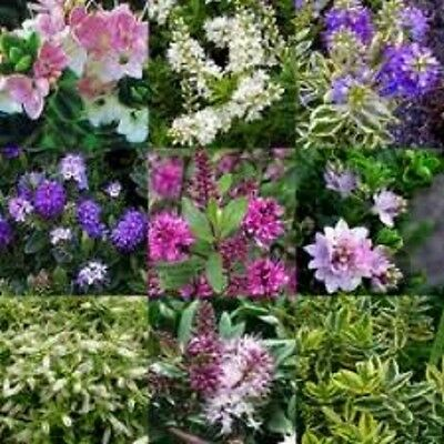 MIXED SELECTION OF 6 EVERGREEN HEBE PLANTS, WINTER HARDY SHRUBS, IN 9cm POTS