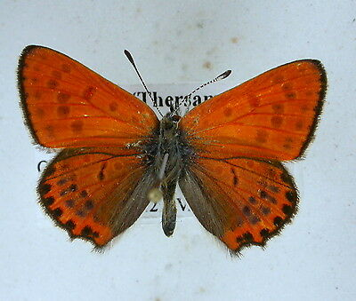 Lycaena thersamon male  South russia