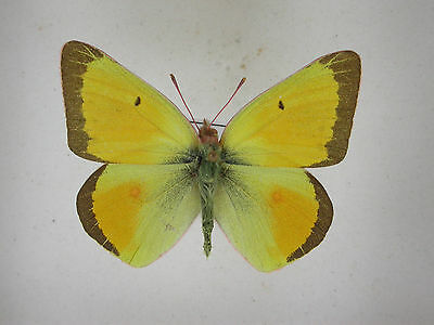 Colias christina, ssp astraea, USA,, male