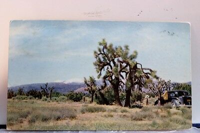 Scenic Desert Joshua Tree Postcard Old Vintage Card View Standard Souvenir Post