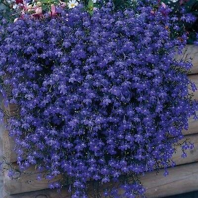 Lobelia Mrs Clibran Seed Annual Rich Blue White Eye Bedding Baskets Containers