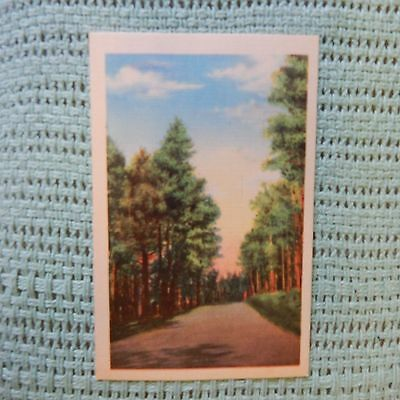 Vintage Postcard Dirt Road Through A Stand Of Pine Trees