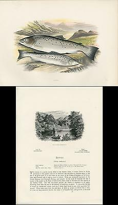 1879 Antique Houghton Fish Print Original Color Wood Engraving The Sewen