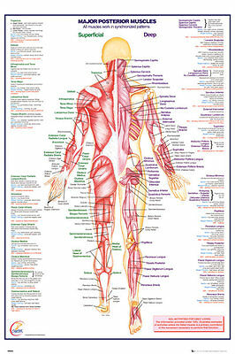 GN0852 HUMAN BODY Major Posterior Muscles Maxi Poster 61 X 91.5 cm