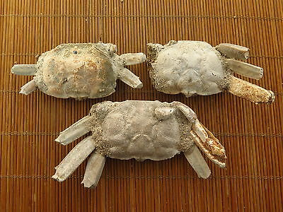 3 Hand Mined Boney crab Fossil From The Green River Formation 133g @hdd