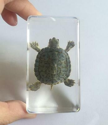 WHOLESALE REAL green sea turtle CLEAR paper-weight  cs0-2