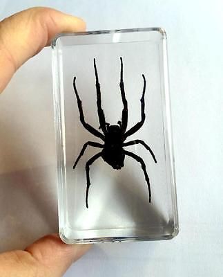 WHOLESALE REAL INSECTS HUGE GHOST SPIDER  BIG paperweight  cs0-6