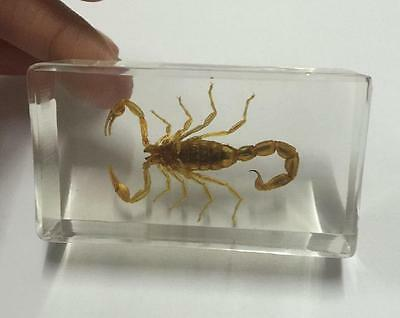 WHOLESALE REAL INSECTS HUGE gold scorpion CLEAR paper-weight  cs0-6
