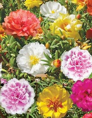 Moss-Rose Seeds Double Zefir (Portulaca grandiflora) Annual Flower Mix