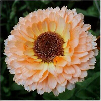 Pot Marigold Seeds Double Pink Surprise (Calendula officinalis) Annual Flower