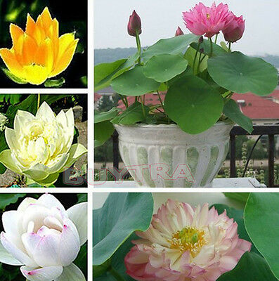 30X NEW Mix Lotus Seeds Asian Water Flower Aquatic Plants Fragrance Blooming HF