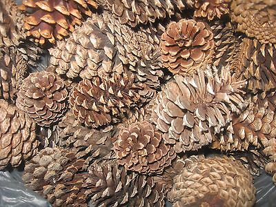 "Texas Pine Cones, Mini (2"" To 3"" Tall), Shortleaf Or Loblolly, Set Of 12"