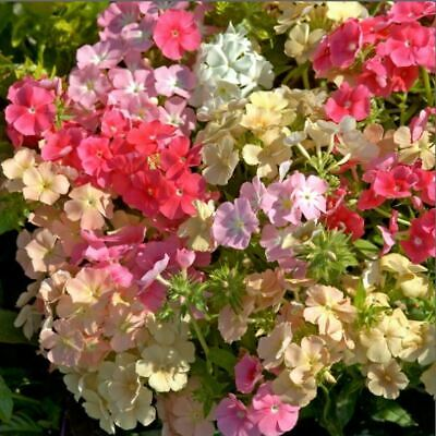 Flower - Kings Seeds - Picture Packet - Phlox - Coral Reef - 300 Seed