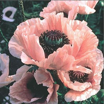 Flower - Kings Seeds - Picture Packet - Poppy - Coral Reef - 100 Seed