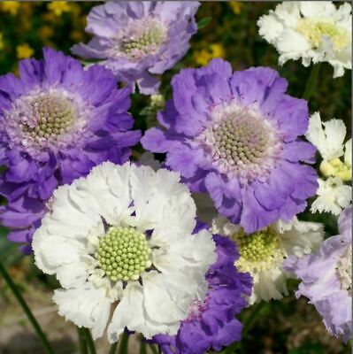 Flower - Kings Seeds - Scabious caucasica -Issac - House Mix  - 35 Seed