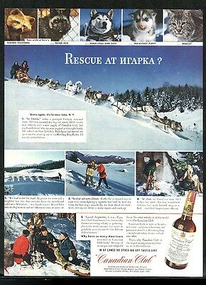 1943 Samoyed Siberian Husky dog sled team photo Canadian Club whisky print ad