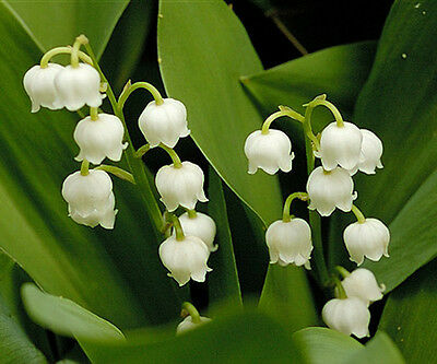 6 x CONVALLARIA Majalis - LILY OF THE VALLEY - Fragrant Perennial Plant Bulbs