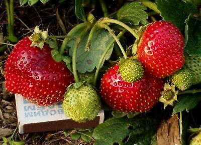 Everbearing Strawberry Seeds Temptation English Hybrid NON GMO