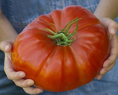 Vegetable - Tomato - Gigantomo - 10 Seeds