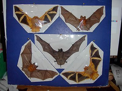 Hanging Bat Taxidermy SOME Rare 5 Lot 3 Species FLYING Position GREAT DISPLAY