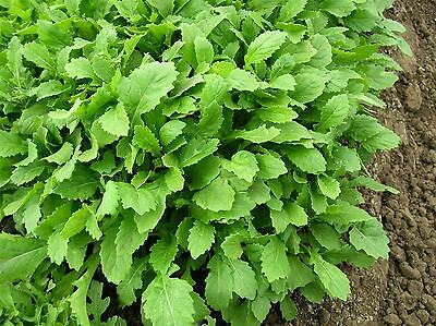 Vegetable - Salad Rocket - Wasabi - 2500 Seeds