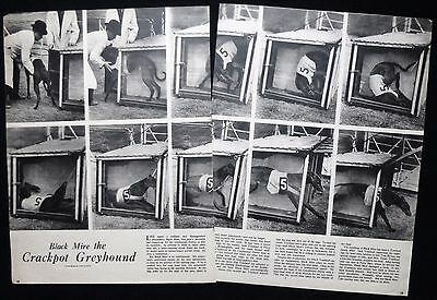 BLACK MIRE ENGLISH GREYHOUND DERBY RACING DOG RACE 2pp PHOTO ARTICLE 1951