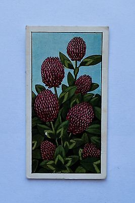 1 Ty-Phoo Tea Card Wild Flowers Number 24 Red Clover