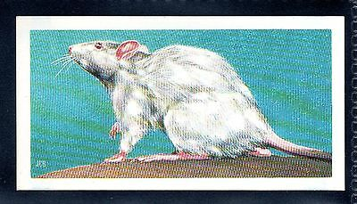 BROOKE BOND (SOUTH AFRICAN) OUR PETS 1967 No.19 THE WHITE RAT