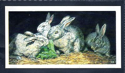 BROOKE BOND (SOUTH AFRICAN) OUR PETS 1967 No.21 THE RABBIT