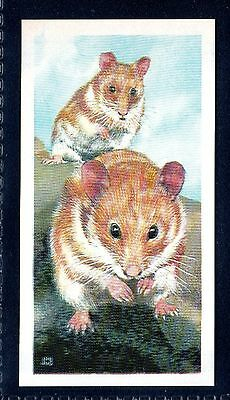 BROOKE BOND (SOUTH AFRICAN) OUR PETS 1967 No.22 THE HAMSTER