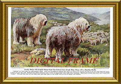 Old English Sheep Dogs at work in orig 1941 COLOR print by artist Edward H Miner