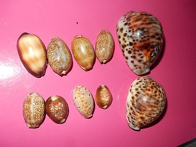10 Cowrie Shells