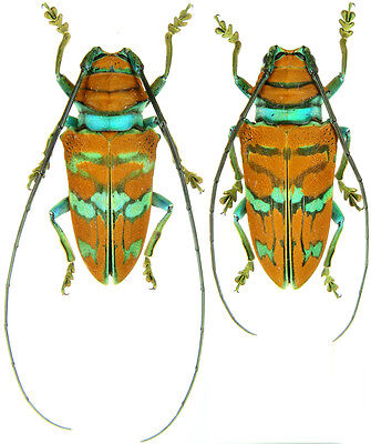 Insect - Sternotomis pulchra - Cameroon - Pair 25~30mm ....!!
