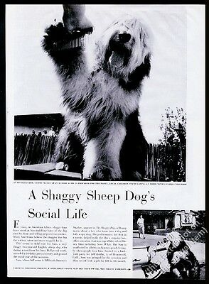 1959 Old English Sheepdog as Hollywood movie star 6 photo vintage print article