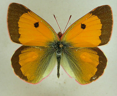 Colias fieldii,ssp chinensis, Tibet,male