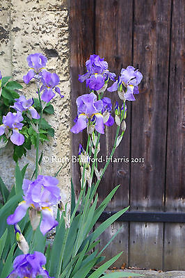 Blue Irises Art Photograph Mounted Print 10 mount colours Greetings Cards