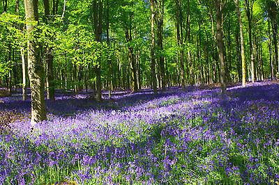 Bluebell Wood Art Photograph Mounted Print 10 mount colours Greetings Cards