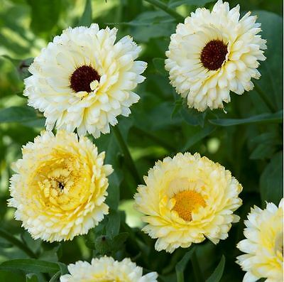 Flower - Calendula - Snow Princess - 100 Seeds
