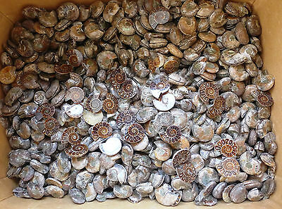 1000g High Quality Natural Small Ammonite Fossil pair Slices Madagascar 2#