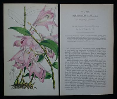 Dendrobium MacCarthlae - Orchidee Blume - kol. Lithographie Fitch 1855 - Curtis