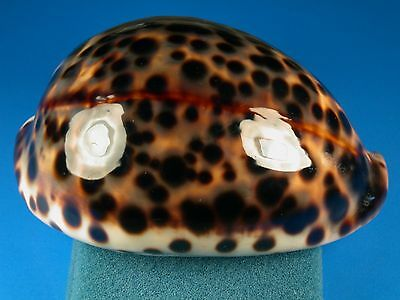Cypraea tigris schilderiana, Very Dark,102.9mm, Hawaii Shell