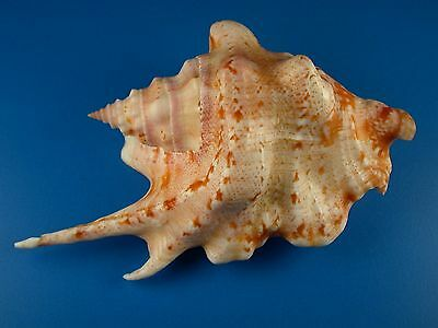 Strombus taurus, Great Pattern, Very Large, F+++, 107.2mm, Guam Shell