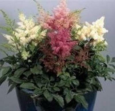 Astilbe - Astary Mixed - 15 Seeds