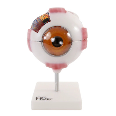 66fit™ Giant Eye Model - White - Medical Training Aid