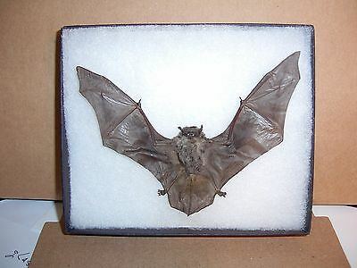 Bat Taxidermy Framed Tyloncteris Pachypus  In Natural Resting Position Display