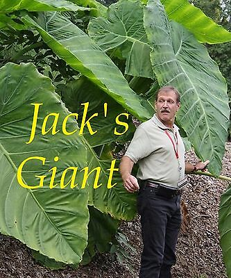 ~JACK'S GIANT~ TARO Colocasia esculenta ELEPHANT EAR HUGE!! small potted Plant