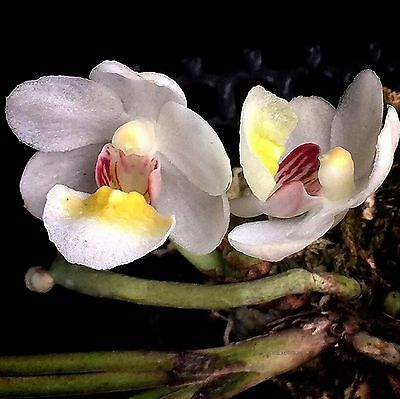 OoN Holcoglossum rupestre species orchid 50mm tubes  RARE